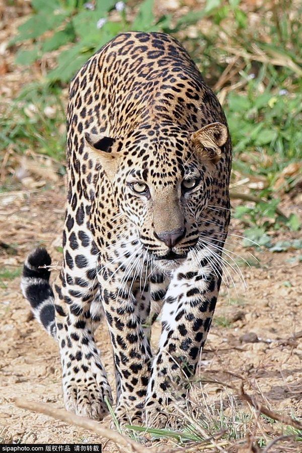 探秘斯里兰卡雅拉国家公园野生动物