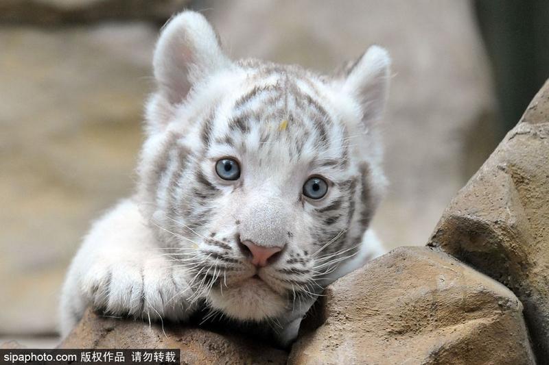 利贝雷茨动物园里的印度白虎宝宝