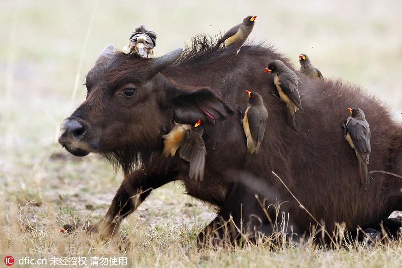 非洲小水牛被15只牛椋鸟