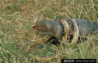 眼镜蛇大战天敌印度獴的凶残场面